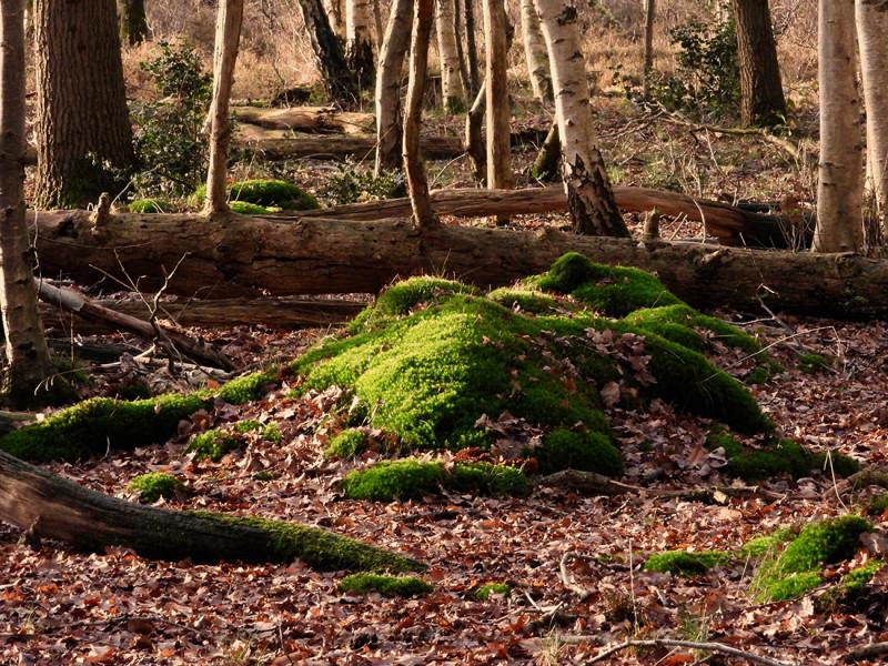 Mos in het bos
