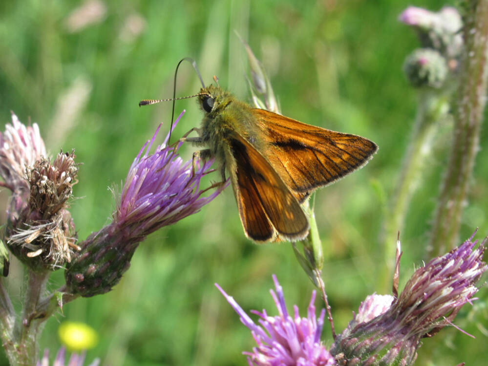 vlinder - groot dikkopje2.kl