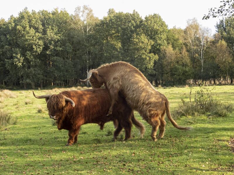 Koe en stier