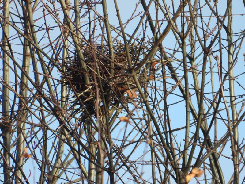 Sperwer nest