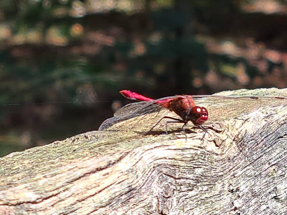 Rode heidelibelle