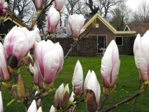 Braamhuis magnolia